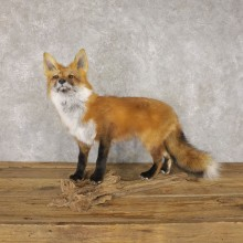 Red Fox Life-Size Mount For Sale #22595 @ The Taxidermy Store