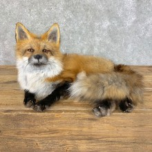 Red Fox Life-Size Mount For Sale #22824 @ The Taxidermy Store