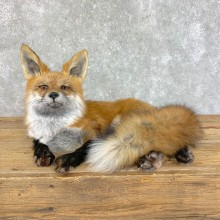 Red Fox Life-Size Mount For Sale #22826 @ The Taxidermy Store