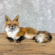 Red Fox Life-Size Mount For Sale #22827 @ The Taxidermy Store
