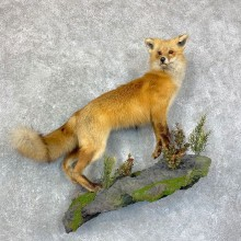 Red Fox Life-Size Mount For Sale #22856 @ The Taxidermy Store