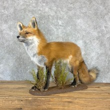 Red Fox Life-Size Mount For Sale #23019 @ The Taxidermy Store