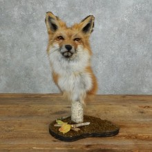 Red Fox Pedestal Taxidermy Mount For Sale