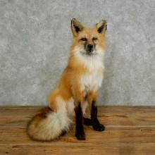 Red Fox Life-Size Mount For Sale #17024 @ The Taxidermy Store