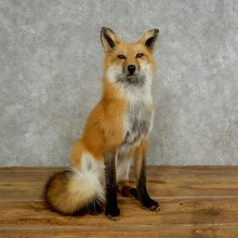 Red Fox Life-Size Mount For Sale #17025 @ The Taxidermy Store
