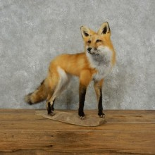 Red Fox Life-Size Mount For Sale #17382 @ The Taxidermy Store