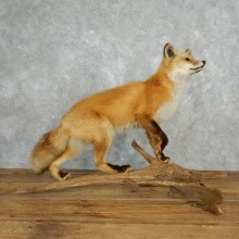 Red Fox Life Size Taxidermy Mount #17833 For Sale @ The Taxidermy Store