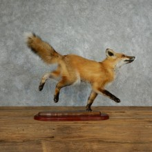 Red Fox Life Size Taxidermy Mount #17834 For Sale @ The Taxidermy Store