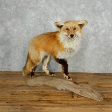 Standing Red Fox Life-Size Taxidermy Mount For Sale