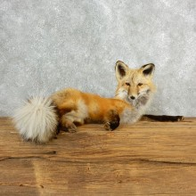Red Fox Life-Size Mount For Sale #17837 @ The Taxidermy Store