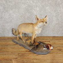 Red Fox with Mandarin Life-Size Taxidermy Mount For Sale