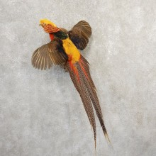 Red Golden Pheasant Bird Mount For Sale #20802 @ The Taxidermy Store