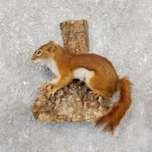 Red Squirrel Life-Size Taxidermy Mount For Sale
