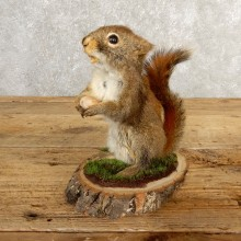 Red Squirrel Life-Size Mount For Sale #20631 @ The Taxidermy Store