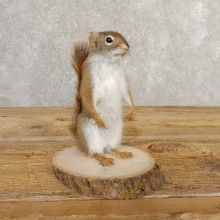 Red Squirrel Life-Size Mount For Sale #20757 @ The Taxidermy Store