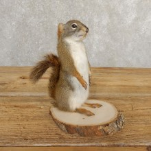 Red Squirrel Life-Size Mount For Sale #20758 @ The Taxidermy Store