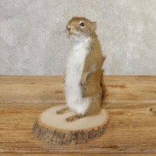 Red Squirrel Life-Size Mount For Sale #20759 @ The Taxidermy Store
