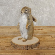 Red Squirrel Life-Size Mount For Sale #20760 @ The Taxidermy Store