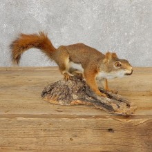 Red Squirrel Life-Size Mount For Sale #21126 @ The Taxidermy Store