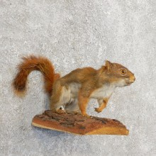 Red Squirrel Life-Size Mount For Sale #21163 @ The Taxidermy Store