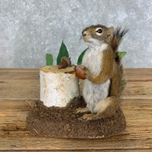 Red Squirrel Life-Size Mount For Sale #22604 @ The Taxidermy Store
