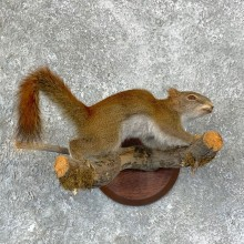 Red Squirrel Life-Size Mount For Sale #22948 @ The Taxidermy Store