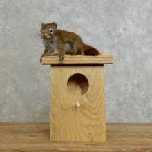 Red Squirrel & Birdhouse Mount For Sale #17196 @ The Taxidermy Store