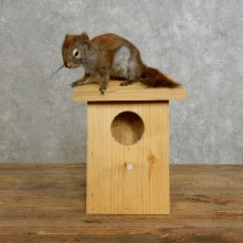 Red Squirrel & Birdhouse Mount For Sale #17198 @ The Taxidermy Store