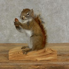Red Squirrel & Acorn Taxidermy Mount For Sale