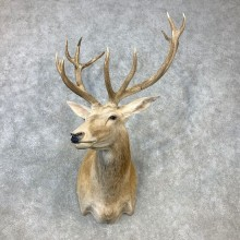 Red Stag Shoulder Mount For Sale #23299 @ The Taxidermy Store