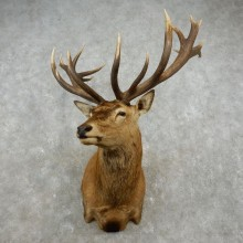 Red Stag Shoulder Mount For Sale #17357 @ The Taxidermy Store