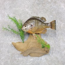 Redear Sunfish Taxidermy Fish Mount #22278 For Sale @ The Taxidermy Store