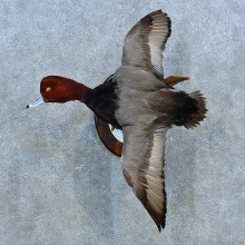 Redhead Duck Bird Mount For Sale #15528 @ The Taxidermy Store