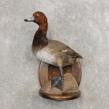 Redhead Duck Bird Taxidermy Mount For Sale #21253 @ The Taxidermy Store