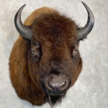 American Bison Shoulder Mount For Sale #21435 @ The Taxidermy Store