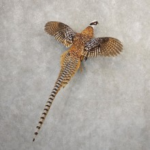 Reeves Pheasant Mount For Sale #20793 @ The Taxidermy Store