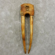Fossilized Walrus Replica Skull & Tusk Taxidermy Mount For Sale