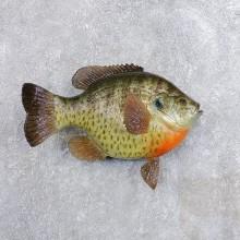Replica Shellcracker Bream Taxidermy Fish Mount For Sale