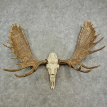 Reproduction Moose Skull European Mount For Sale #16901 @ The Taxidermy Store
