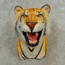 Reproduction Bengal Tiger Shoulder Mount For Sale