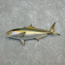 Amberjack Taxidermy Fish Mount #17809 For Sale @ The Taxidermy Store