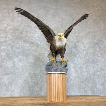 Reproduction Bald Eagle Taxidermy Bird Mount For Sale #22890 @ The Taxidermy Store