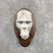 Reproduction Gorilla Skull Mount For Sale #21589 @ The Taxidermy Store
