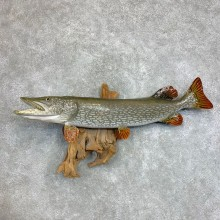 """39.75"""" Reproduction Northern Pike Taxidermy Fish Mount For Sale"""