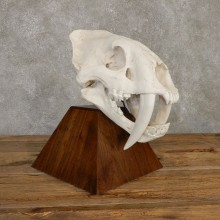 Reproduction Saber Tooth Tiger Skull Mount For Sale #20130 @ The Taxidermy Store