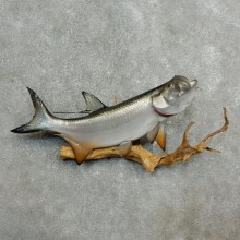 Atlantic Tarpon Fish Mount #17779 For Sale @ The Taxidermy Store