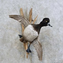 Ringed-neck Duck Bird Mount For Sale #15904 @ The Taxidermy Store