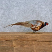 Ringneck Pheasant Life-Size Mount For Sale #15210 @ The Taxidermy Store