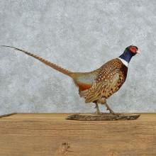 Standing Ringneck Pheasant