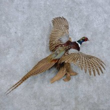 Flying Ringneck Pheasant Taxidermy Mount For Sale